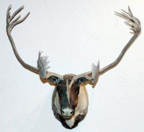 Quebec Labrador Caribou Trophy Mount