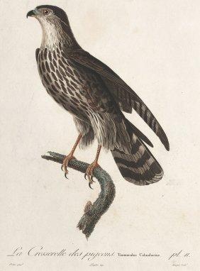 Adler; Falke.- Eisvogel; Uhu.: L'Aigle ...; La Cre
