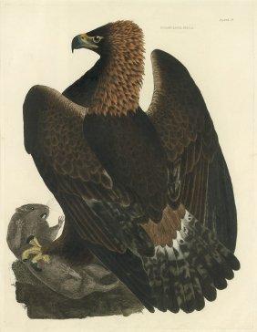 Adler: Golden Eagle, Female