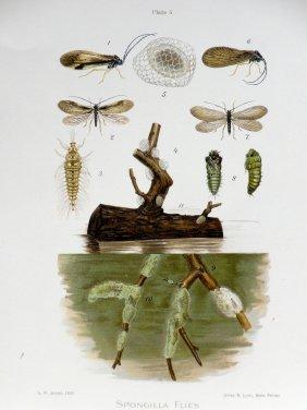 Spongilla Insect Print, 1900
