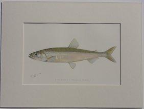 Smelt Fish, 1902
