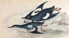 Black Guillemot, 1843