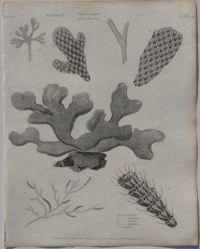 Sea Fans, 1802