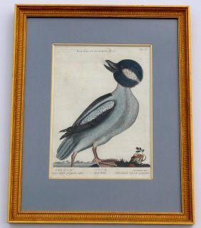 Bufflehead By Mark Catesby, 1749