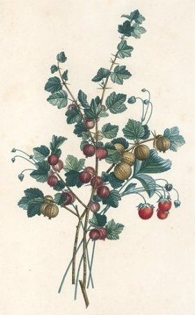 Gooseberries By Jean-louis Prevost