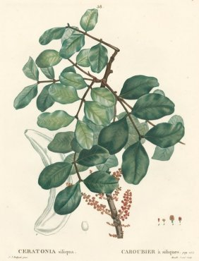 Ceratonia By Pierre Joseph Redoute
