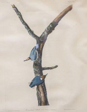 Handcolored Audubon bird print, Brown Headed Nut Hatch,