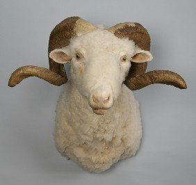 Curly Horned Ram Shoulder Mount