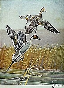"""Lithograph """"the Pintail Duck"""" By Artist Francis Lee"""
