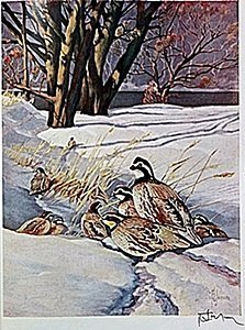 "Lithograph ""the Bobwhite Quail"" By Artist Francis Lee"