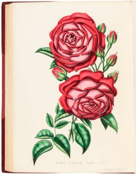 Henry Curtis Beauties Of The Rose 38 Color Plates