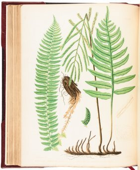 Ferns Of North America, 1879