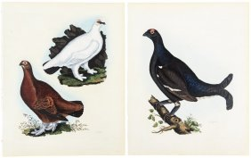 Bird Prints From Selby's British Ornithology