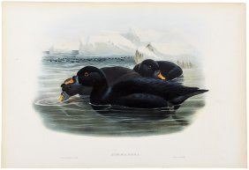 Color Lithograph Of The Black Scoter By Gould