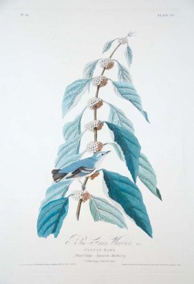 John James Audubon, Plate 49: Blue Green Warbler