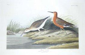 John James Audubon, Plate 263: Pigmy Curlew