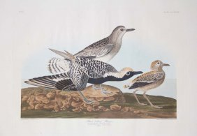 John James Audubon, Plate 334: Black Bellied Plover
