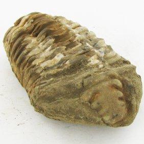 169gm Tribolite Fossil