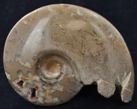 3270ct Natural Untreated Fossilized Ammonite