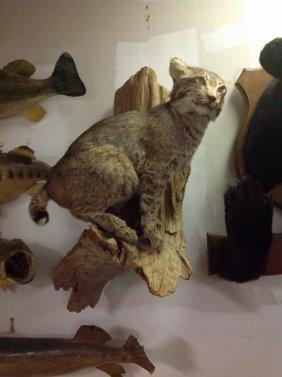 Bobcat Taxidermy Mount On Tree