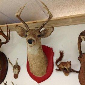 Nice Deer Taxidermy Mount