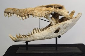Record Size Antique Crocodile Skull Trophy