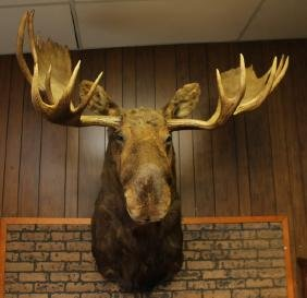 NORTH AMERICAN BULL MOOSE